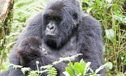 Zorgen voor kinderen vrouwentaak? Niet bij gorilla's.